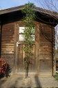 黒竹(クロチク) 株立ち!樹高2.0m前後 シンボルツリー・坪庭に!【あす楽対応_九州】
