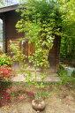 イロハモミジ!カエデ 株立ち 樹高1.5m前後 高価な株立ち☆綺麗な樹形♪【あす楽対応_九州】