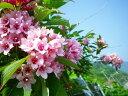 タニウツギ(谷空木)樹高0.3m前後(ピンク花) 【あす楽対応_九州】