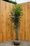 シマトネリコ株立ち!樹高2.0m前後 常緑☆シンボルツリーに最適♪【あす楽対応九州】