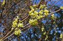 トサミズキ(土佐水木)樹高1.2m前後 黄色花【あす楽対応_九州】