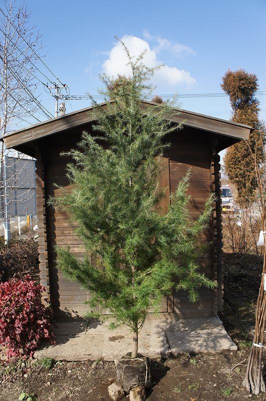 ヒマラヤシーダー樹高2.5m前後 世界三大公園樹【木曜日発送】 大木になるコニファーの一種