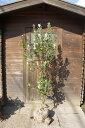 フェイジョア樹高2.0m前後 甘い芳香がする果樹【根巻き苗】【あす楽対応_九州】