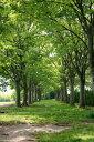 ケヤキ株立ち 樹高2.5m前後 紅葉も楽しめる落葉高木樹【木曜日発送】