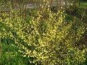 ヒュウガミズキ(日向水木)樹高0.8m前後 黄色花【あす楽対応_九州】