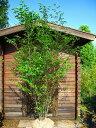 エゴノキ 白花 H2.5m前後 株立ち!シンボルツリーに最適です♪【木曜日発送】
