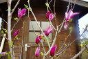 【紫花】モクレン樹高2.5m前後 花木・庭木に最適【落葉高木】【木曜日発送】