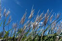 タカノハススキ ポット苗 秋の山里を代表する植物【斑入り】【あす楽対応_九州】