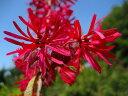 トキワマンサク樹高0.5m前後 赤葉・赤花 生垣に大人気の樹木【あす楽対応_九州】