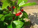 ツルコウジ(十両)ポット苗 可愛い赤い実がなります【常緑低木】【つる性植物】【あす楽対応_九州】