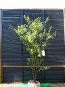 ハイノキ 株立ち樹高1.8m前後 売り切れごめん!灰木【あす楽対応_九州】