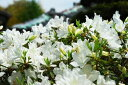 サツキ/博多白(ハカタハク)樹高20cm前後 ポット苗【花期5〜6月】【あす楽対応_九州】