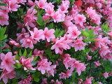 平戸ツツジ/ピンク花(八重咲き) 樹高30cm前後 【花期:4〜6月】【あす楽対応九州】