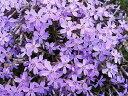 芝桜/オーキントンブルーアイ ポット苗(ブルー系)5本セット