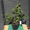 ツバキ/チャチャヒメ(茶々姫) 樹高0.4〜0.5m前後 ポット苗 常緑小低木 生垣