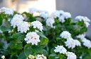 コバノランタナ/可愛らしい花が咲き育てやすい常緑花木【あす楽対応_九州】
