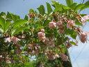 エゴノキ・ピンクチャイム株 樹高2.0m前後 シンボルツリー 落葉樹