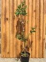 フェイジョア ポット苗 樹高1.0m前後 甘い芳香がする果樹