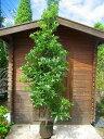 ヤマモモ 樹高2.0m前後 庭木・シンボルツリーに最適です!【あす楽対応_九州】
