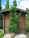 どんぐりがなります♪♪エコに活用どんぐりの木♪☆シラカシ☆株立ち!!樹高2.5m 常緑☆シンボルツリー・生垣など、用途多彩♪