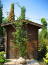 庭にはこの木でキマリ!!☆イロハモミジ☆株立ち 樹高2.0m前後 綺麗な樹形♪【あす楽対応_九州】