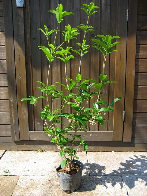 四季咲きモクセイ 樹高80cm前後 ポット苗