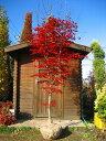 真っ赤な葉☆ノムラモミジ樹高2.5m前後 単木!赤もみじ・紅葉【木曜日発送】