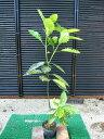 フイリアオキ (斑入りアオキ)樹高1.0m前後 お庭のポイントに♪【あす楽対応_九州】
