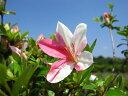 一生の春(咲き分け)サツキ 樹高20cm前後 ポット苗 観賞価値の高い咲き分け品種【あす楽対応_九州】