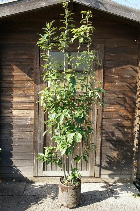 エコに役立つ!どんぐりの木♪アラカシ☆株立ち!樹高2.2m前後 生垣・シンボルツリーに♪【水曜日発送/代引き不可】 エコグリーン♪地球のために木を植えよう!