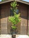 人気の!☆イロハモミジ☆一本立ち 樹高1.8m前後 ポット入 綺麗な樹形♪【あす楽対応_九州】