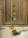 S2-シャリンバイ 樹高1.0m前後 ポット苗