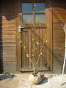 ◇◆鮮やかな黄色花が魅力 マンサク(満作)樹高1.2m前後 ◆◇【あす楽対応_九州】