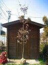 コナラ 単木!樹高3.0m前後 紅葉も綺麗な雑木です♪どんぐりの木☆【木曜日発送】