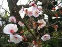 梅干・梅酒などに♪◇◆南高梅(ナンコウバイ) 樹高1.0m前後!ポット苗 梅 果樹◆◇【あす楽対応_九州】