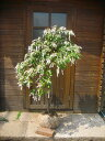 春の花木☆アセビ樹高1.0m前後(白花or赤花)可愛らしい花です♪【あす楽対応_九州】