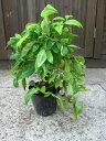 オタフクナンテン 樹高20cm前後 5本セット