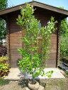 ネズミモチ 樹高1.5m 生垣・庭木に最適です!【あす楽対応_九州】