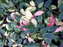セイヨウイワナンテン(西洋岩南天)/レインボー ポット苗 低木 常緑樹