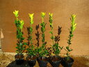 オウゴンマサキ 樹高0.3m前後 ポット苗 黄金色の葉がとても鮮やか☆生垣・お庭のアクセントにも♪【あす楽対応_九州】