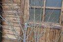 コマユミ 樹高1.2m前後 落葉樹 花木