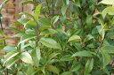 ソヨゴ単木 樹高2.5m 常緑小高木 露地 シンボルツリー 雄雌選択不可 【木曜日発送】