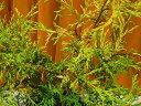 フィリフェラオーレア☆樹高20cm前後 小さいサイズ ポット苗!コニファー・グラウンドカバーに最適♪ 【FG0210CONI】【あす楽対応_九州】