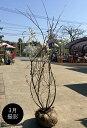 ジューンベリー 株立 樹高1.5m前後 露地苗 シンボルツリー 落葉樹