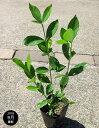 クチナシ(梔子) 八重咲き 樹高30cm前後 ポット苗 低木 常緑
