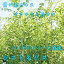 楽天ガーデンタウン大人気!シマトネリコ 株立ち 樹高1.8m 生産者直売!シンボルツリーに最適♪【あす楽対応_九州】