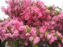 【ツツジの女王】シャクナゲツツジ樹高0.3m前後 希少な品種【あす楽対応_九州】
