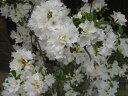 クルメツツジ/暮れの雪(クレノユキ)樹高10cm前後 ポット苗 久留米ツツジ【あす楽対応_九州】