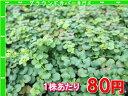 リシマキア【グリーン】 たっぷり60株セット 1株あたり80円【緑のじゅうたんを作りましょう♪】