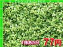 ワイヤープランツ たっぷり60株セット 1株あたり78円【緑のじゅうたんを作りましょう♪】